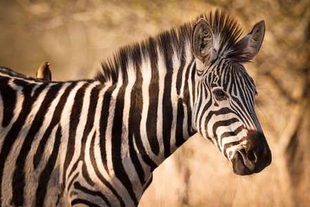 A portrait of zebra with symbiont bird, Kruger National Park, South Africa Stock Photo