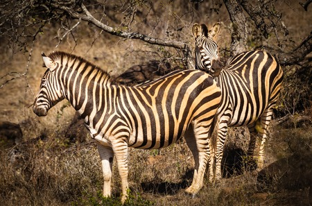 Two striped zebras in the African savanna, Kruger National Park, South Africa Stock Photo