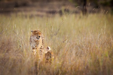 kruger national park: Cheetah (Acinonyx jubatus) with cub in the bush, Kruger National Park, South Africa