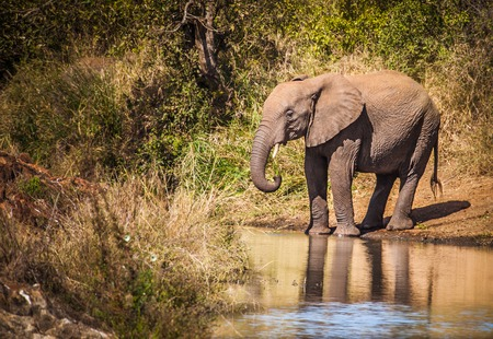 An elephant near a pool in Kruger Nationa Park, South Africa Stock Photo