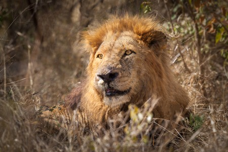 Male African Lion (Pathera leo) seated in the bush of the Kruger National Park, South Africa photo