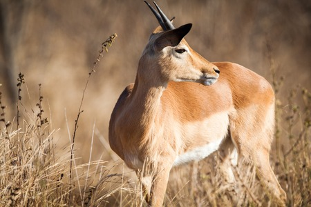 Young Impala, Kruger National Park, South Africa