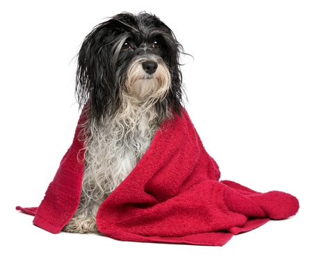 dog health: A wet black and white havanese dog after the bath with a red towel isolated on white background
