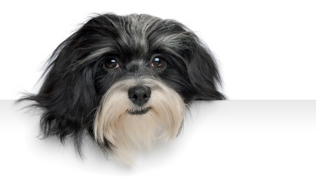 Close-up portrait of a smiling black and white havanese puppy dog above a banner, isolated on white background photo
