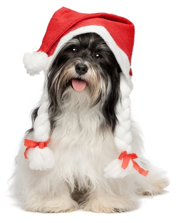 Cute happy sitting Bichon Havanese dog in Christmas hat  Isolated on a white background