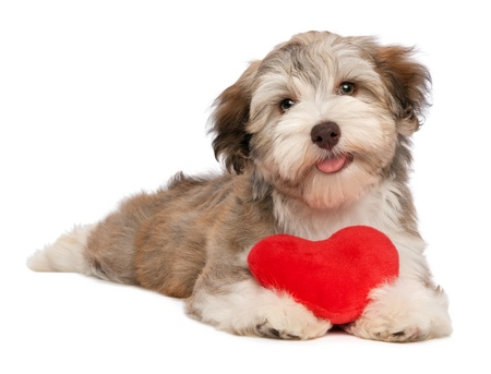 mouth couple: A lover chocolate valentine havanese puppy dog with a red heart isolated on white background