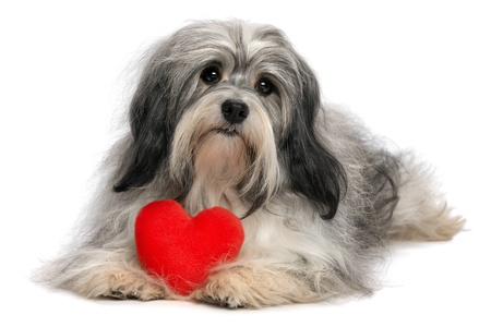 A cute lover valentine havanese boy dog with a red heart isolated on white background photo