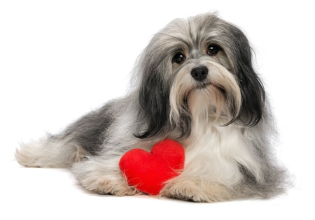 dignified: A cute lover valentine havanese boy dog with a red heart isolated on white background