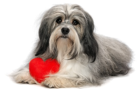 havanais: A cute lover valentine havanese boy dog with a red heart isolated on white background