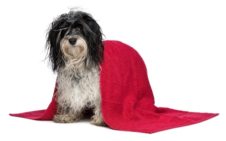 A wet black and white havanese dog after the bath with a red towel isolated on white background Stock Photo - 15279660