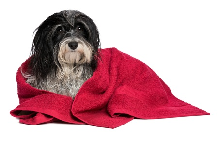 A wet black and white havanese dog after the bath with a red towel isolated on white background Stock Photo - 15279727