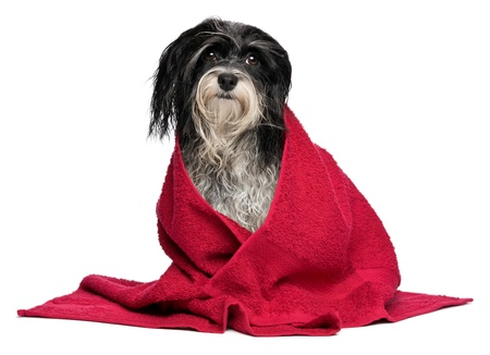 havanais: A wet black and white havanese dog after the bath with a red towel isolated on white background