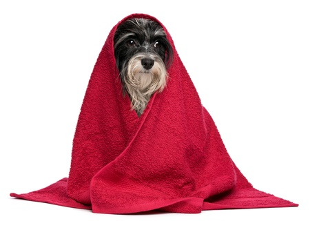 A wet black and white havanese dog after the bath with a red towel isolated on white background photo