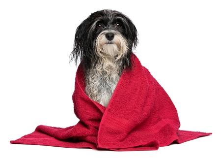 dog health: Un umido cane bianco e nero Havanese dopo il bagno con un asciugamano rosso isolato su sfondo bianco
