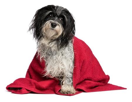 Un perro mojado havanese blanco y negro después del baño con una toalla de color rojo aisladas sobre fondo blanco