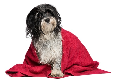 A wet black and white havanese dog after the bath with a red towel isolated on white background Stock Photo - 15279729