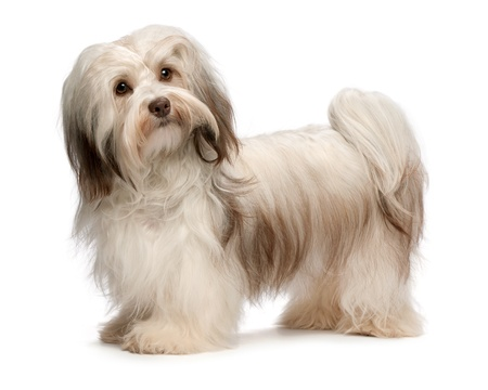 bichon: Portrait of a beautiful standing chocolate havanese dog isolated on a white background Stock Photo