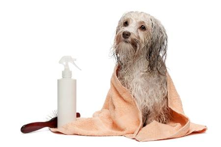 Un perro havanese del chocolate mojado después del baño con una toalla de durazno aisladas sobre fondo blanco