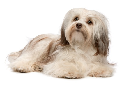 A beautiful lying chocolate havanese puppy dog isolated on white background photo
