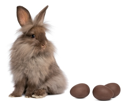 lionhead: A sitting chocolate colored mini lionhead bunny rabbit with chocolate eggs, isolated on white background Stock Photo