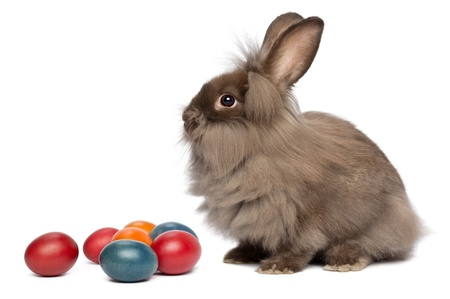 A sitting chocolate colored mini lionhead bunny rabbit with easter eggs, isolated on white background Stock Photo - 15279724
