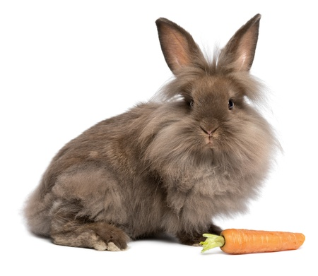 A cute chocolate colored mini lionhead bunny rabbit with a carrot, isolated on white background Stock Photo
