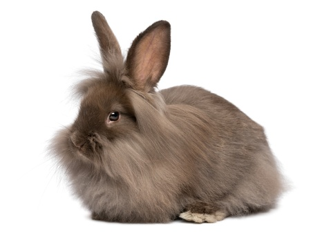 A cute lying chocolate colored mini lionhead bunny rabbit, isolated on white background Stock Photo