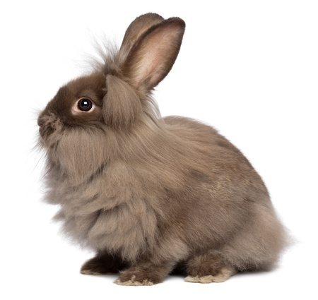 lionhead: A sitting chocolate colored mini lionhead bunny rabbit, isolated on white background Stock Photo
