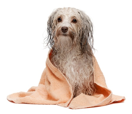 A wet chocolate havanese dog after the bath with a peach towel isolated on white background photo