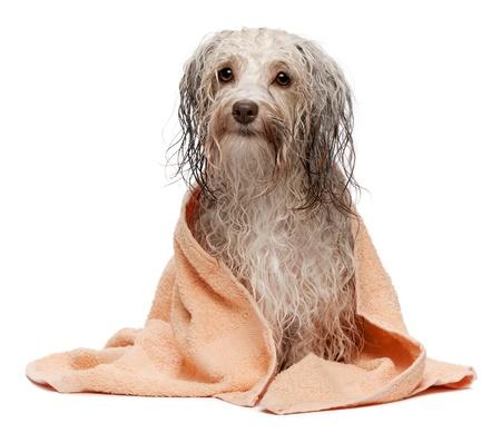dog health: Un cane cioccolato bagnato havanese dopo il bagno con un asciugamano pesca isolato su sfondo bianco