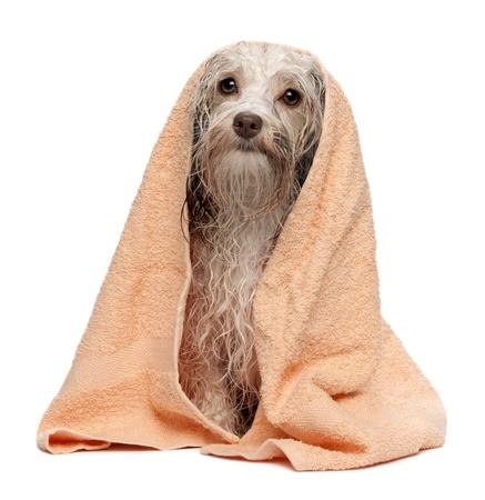 mojado: Un perro havanese del chocolate mojado despu�s del ba�o con una toalla de durazno aisladas sobre fondo blanco