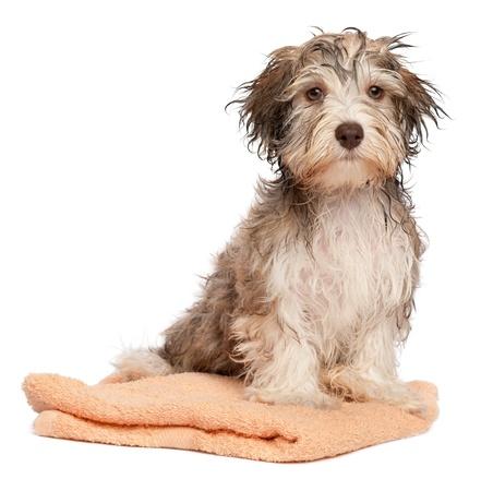 ıslak: Banyodan sonra ıslak çikolatalı havanese yavru köpek, beyaz zemin üzerine izole bir şeftali havlu üzerinde oturuyor