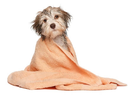 towels bath: A wet chocolate havanese puppy dog after bath is dressed in a peach towel isolated on white background Stock Photo