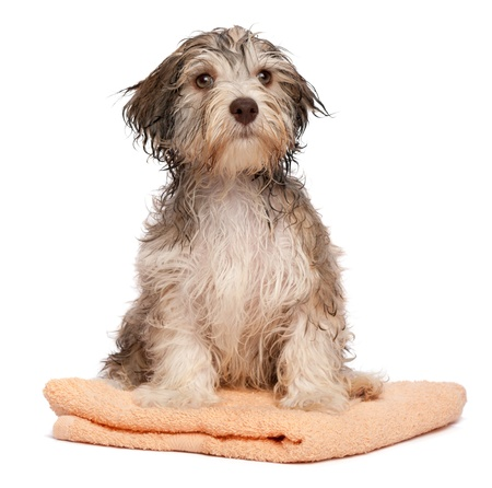 havanais: A wet chocolate havanese puppy dog after bath is sitting on a peach towel isolated on white background