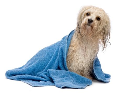 handtcher: Ein nasser cream havanese Hund nach dem Bad mit einem blauen Handtuch isoliert auf wei�em Hintergrund