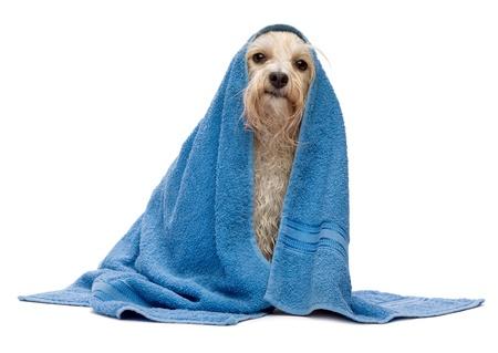 champu: Un perro havanese crema mojado después del baño con una toalla azul aislado sobre fondo blanco
