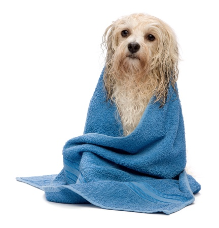A wet cream havanese dog after the bath with a blue towel isolated on white background