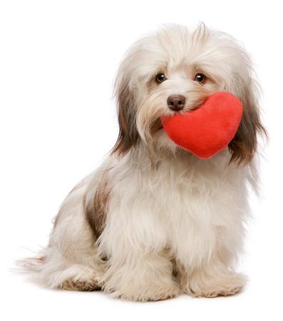 puppy love: Un chocolate de San Valentín amante havanese perro sosteniendo un corazón rojo en la boca aislada en el fondo blanco