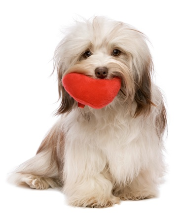 animal lover: A lover chocolate valentine havanese dog holding a red heart in mouth isolated on white background Stock Photo