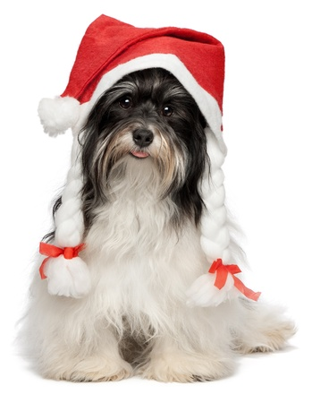 animal tongue: Cute happy sitting Bichon Havanese dog in Christmas hat. Isolated on a white background