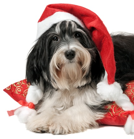 Cute havanese puppy with Santa hat lying on red cushion. Isolated on a white background