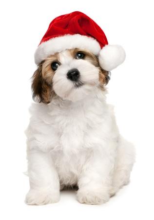 Cute sitting Bichon Havanese puppy dog in Christmas - Santa hat