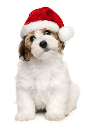 Cute sitting Bichon Havanese puppy dog in Christmas - Santa hat