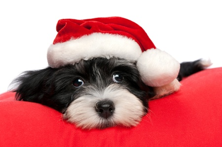 facing to camera: Cute Bichon Havanese puppy dog in Christmas - Santa hat is lying on a red cushion. Isolated on a white background  Stock Photo