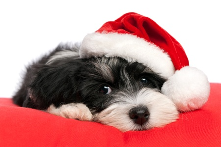 dog christmas: Cute Bichon Havanese puppy dog in Christmas - Santa hat is lying on a red cushion. Isolated on a white background  Stock Photo