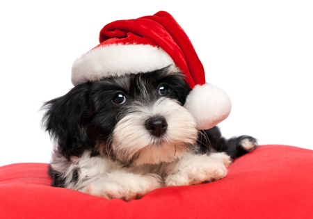 baby christmas: Cute Bichon Havanese puppy dog in Christmas - Santa hat is lying on a red cushion. Isolated on a white background  Stock Photo