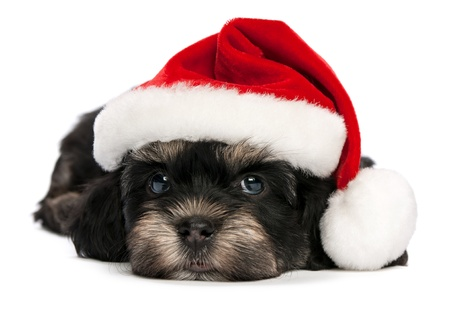Cute lying Bichon Havanese puppy dog in Christmas hat. Isolated on a white background
