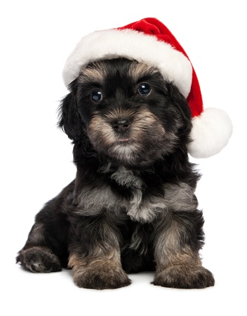 havanais: Cute sitting Bichon Havanese puppy dog in Christmas - Santa hat. Isolated on a white background
