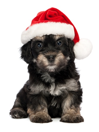 Cute sitting Bichon Havanese puppy dog in Christmas - Santa hat. Isolated on a white background