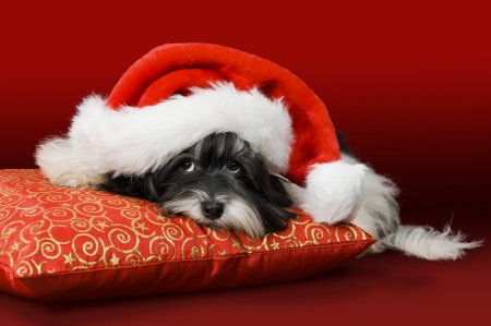 havanese: Cute havanese puppy dog with Santa hat on a red cushion. Before red background